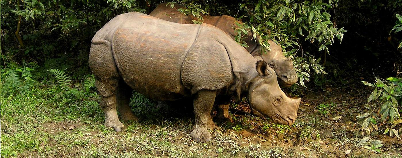 Rhino at Chitwan